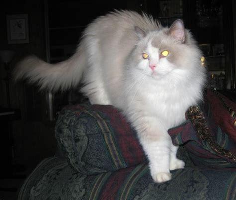 dallas adoption ragdoll rescue importance of adopting senior cats