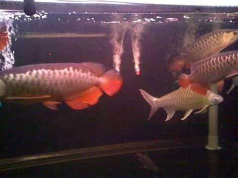 Perkutut Teratai Ikan Arwana 11 x golden arowana community tank 8 x 2 5 x 2 5