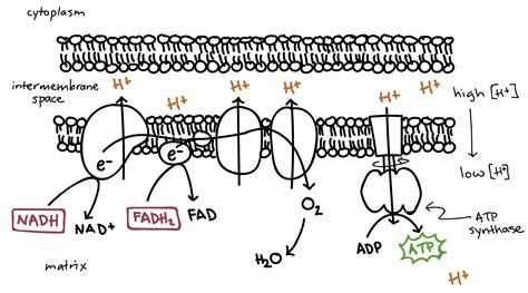 diagram of electron transport electron transport chain easy diagram gallery how to