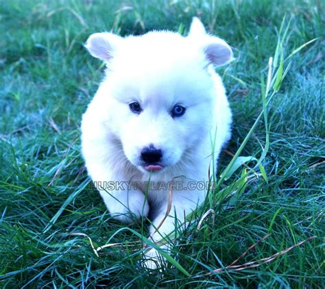husky puppies for sale in sc husky palace puppies for sale husky palace