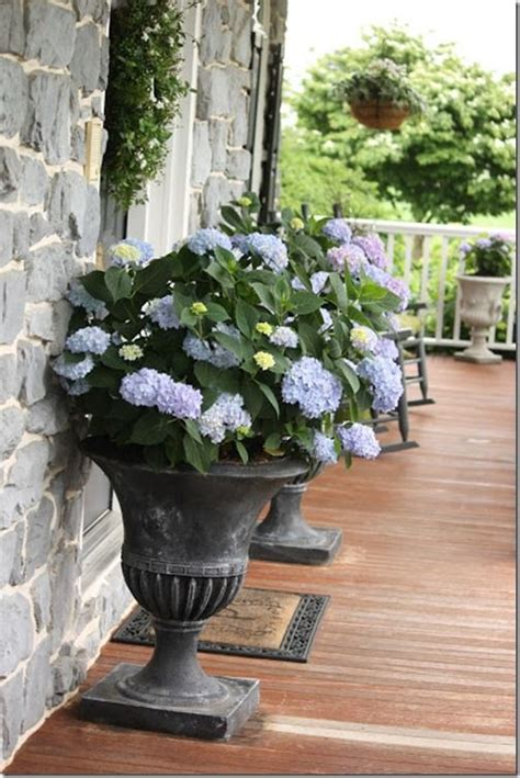 26 best images about hydrangeas in pots on