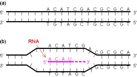 non template dna overview of transcription