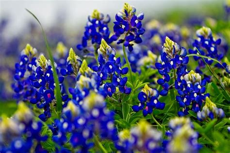state flower of texas bluebonnets the state flower of texas tattoo you