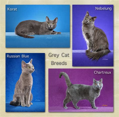 grey breeds grey cat breed facts for