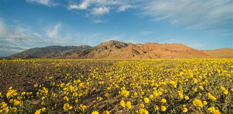 wildflowers death valley national park  national
