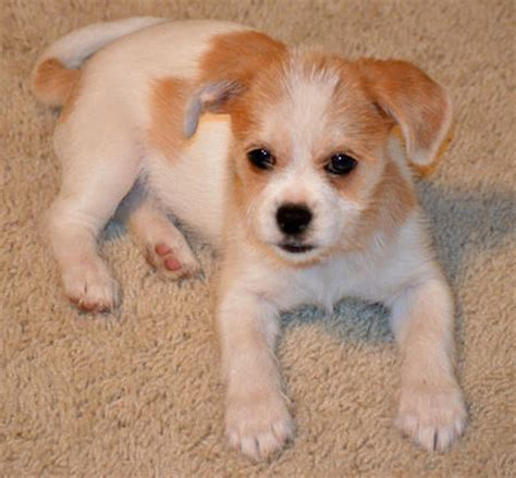 dachshund shih tzu mix the dachshund mix puppies daily puppy