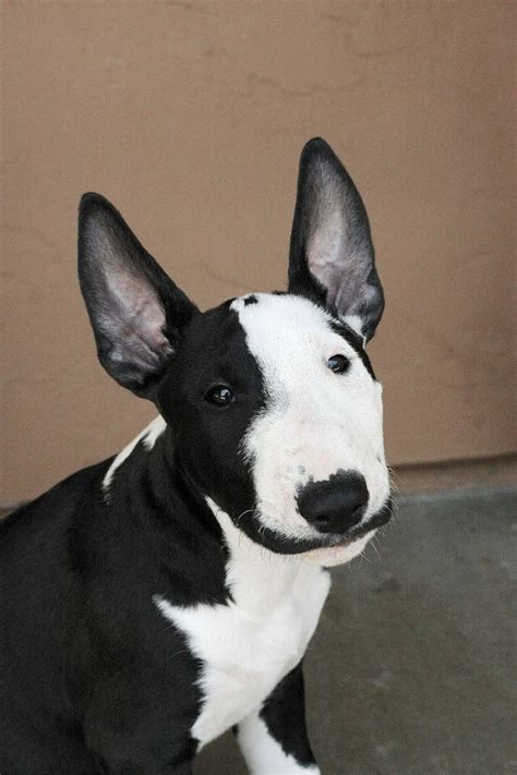 bull terrier bull terrier the eye of the tiger 17 reasons english bull terrier are not the friendly dogs