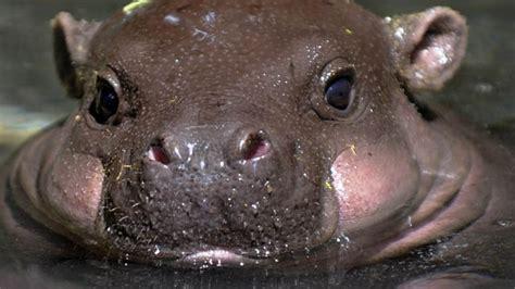 baby pygmy hippo pygmy hippo born at ta zoo 171 cbs ta