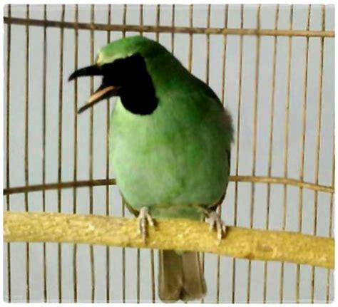 Jual Pakan Burung Sidoarjo panduan penangkaran kacer untuk pemula klub burung