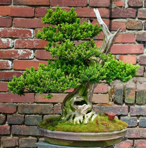 Bonsai Baum Arten 2899 bonsai baum arten bonsai baum kaufen bonsai arten