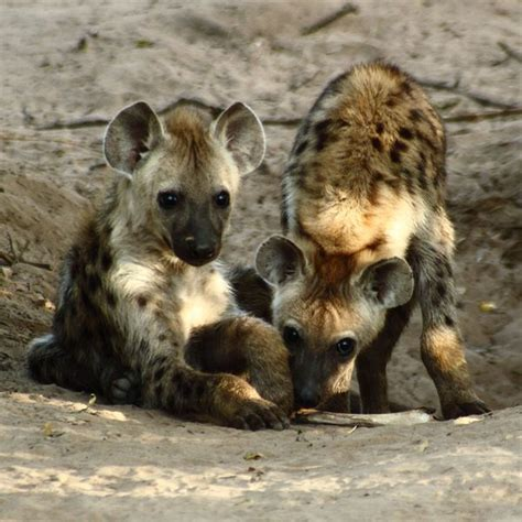 hyena puppies 10 cutest babies of animals living in the desert