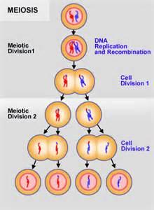 Comparaci 211 n entre meiosis y mitosis