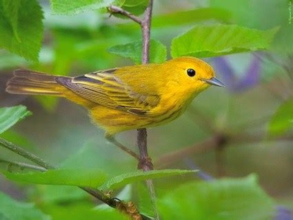 yellow warbler identification all about birds cornell