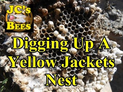 digging up a yellow jackets nest