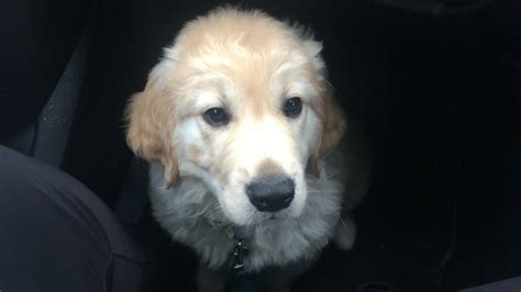 12 week golden retriever 12 week golden retriever puppy mil swindon wiltshire pets4homes