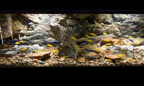 aquascaping african cichlid aquarium inspirational aquariums rocky cichlid tank practical fishkeeping magazine