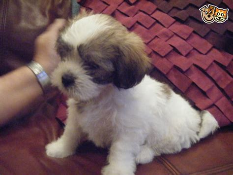 shih tzu x poodle puppies for sale shih tzu x poodle puppies for sale macclesfield cheshire pets4homes