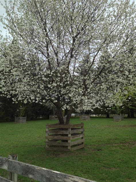cherry tree 2015 cherry time living history farms