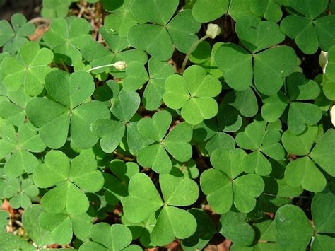 three leaf clover plant green four leaf clover plants domain free photos for 4048x3040 2 16mb