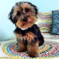 haired dorkie mixes 1000 images about dorkies on pinterest dachshund mix
