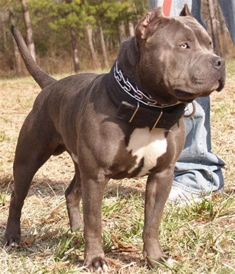 pics of pits blue nose pit bull studs