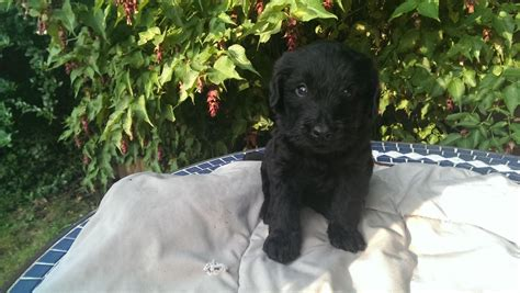 black labradoodle puppies for sale 3 beautiful black labradoodle puppies for sale bristol bristol pets4homes