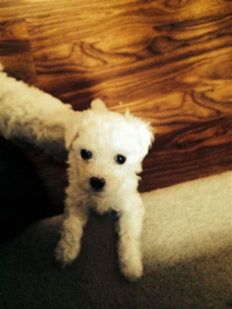 bolognese for sale bolognese puppies for sale southton hshire pets4homes