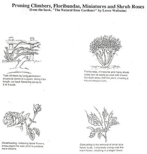 fruit tree pruning for dummies 17 best images about roses on gardens shrubs