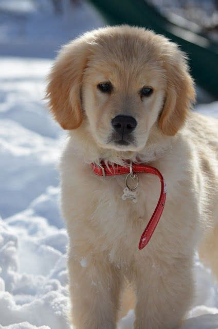 how big does a golden retriever grow 17 best images about golden retriever on beautiful dogs realistic pencil