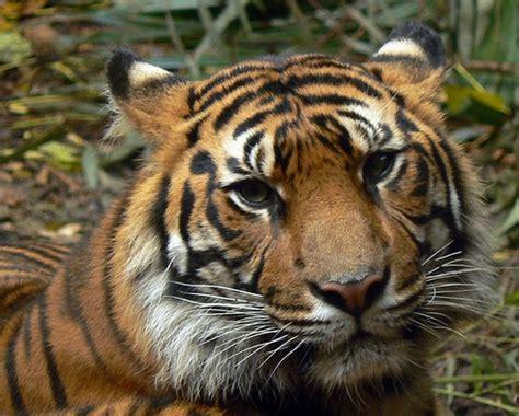 dunia satwa harimau sumatera phantera tigris sumatrae
