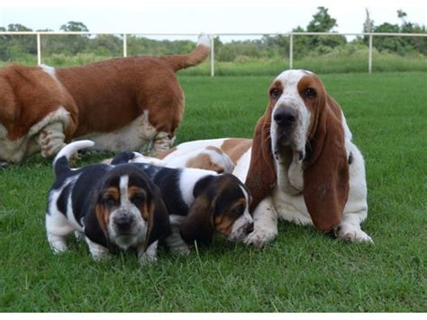 basset hound puppies for sale in alabama charming basset hound puppies available animals montgomery alabama