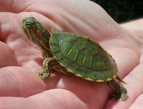 tartarughe da terra alimentazione comprare tartarughe tartarughe acquisto tartarughe