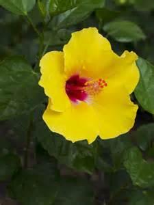 garten hibiskus hibiskus pflege 187 so f 252 hlt er sich pudelwohl