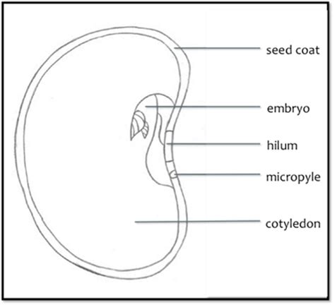 cross section of a seed background information radiation germination