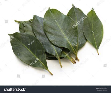 Rhea Bay Leaves Daun Bay daun salam bay leaf stock photo 146710103
