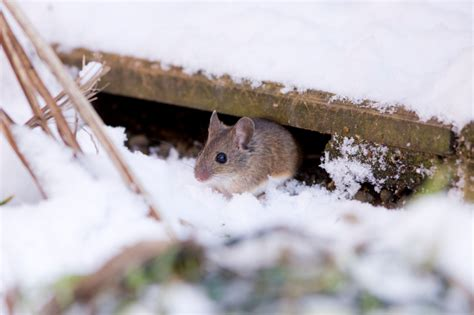 quick tips to keep rodents away this winter pest control