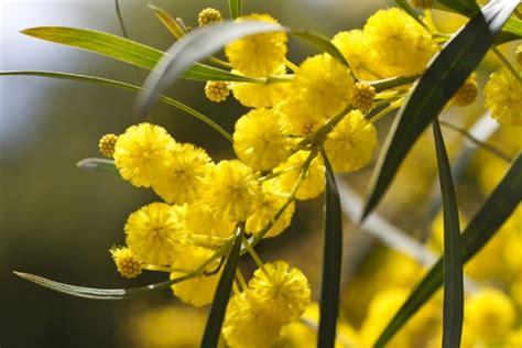 mimosa coltivazione in vaso consigli utili per curare la mimosa in vaso pollicegreen