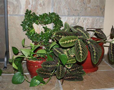 malattie piante appartamento tipologie di piante da interno piante appartamento