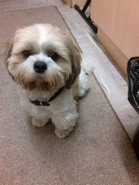 shih tzu puppies liverpool shih tzu for stud liverpool 6 years liverpool merseyside pets4homes