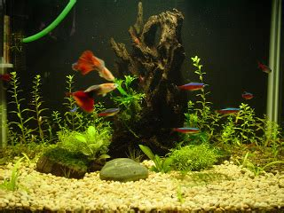 memelihara ikan hias air tawar  aquarium oleh