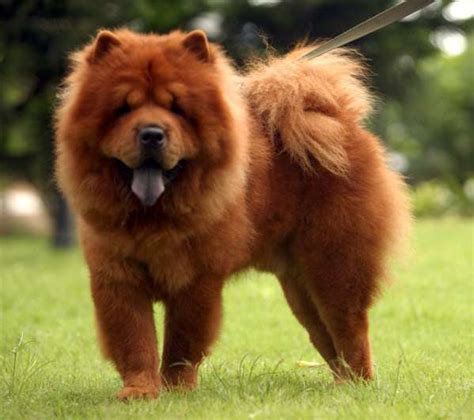 chow dogs chow chow photos doglers