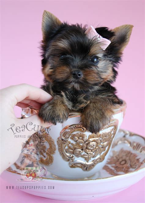 teacup yorkie beds delightful yorkie puppies south florida teacups puppies boutique