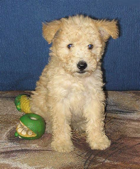 pumi puppies pumi info history temperament puppies pictures
