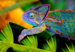 veiled chameleon changing colors chameleon animal wildlife