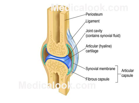 diagram of joints in the joints skeletal joints medicalook human anatomy organs