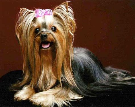 do yorkies hair or fur do yorkies shed a lot terrier shedding yorkiemag