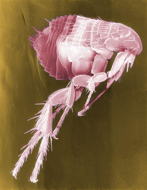 what color are fleas flea