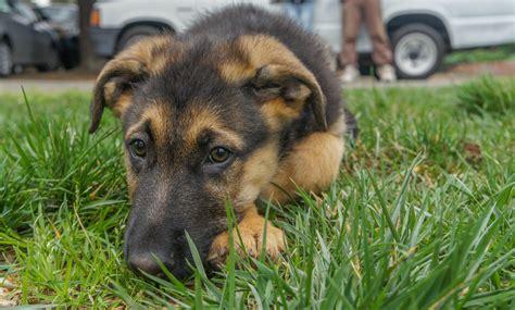how to a german shepherd german shepherd academy tips to your german shepherd
