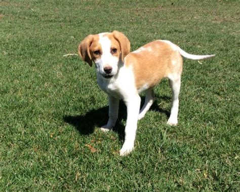 kijiji puppies adorable purebred walker foxhound puppies dogs puppies for sale ottawa kijiji
