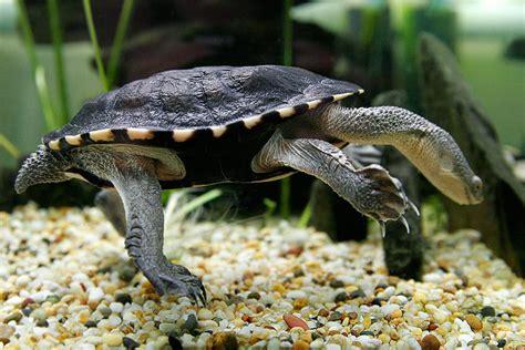 Kura Yellow Belly slangenhalsschildpadden